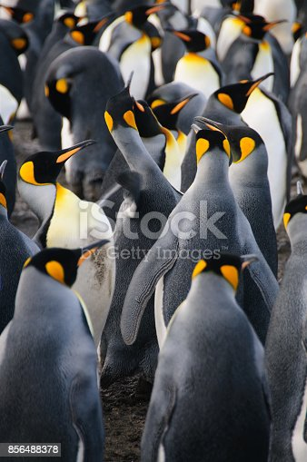 istock King Penguins on Gold Harbour 856488378