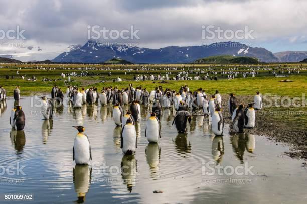 King penguins on salisbury plains picture id801059752?b=1&k=6&m=801059752&s=612x612&h=lcplb5xo49vrdtufigeivhhbvm4a2qbh5tpaupgkhak=