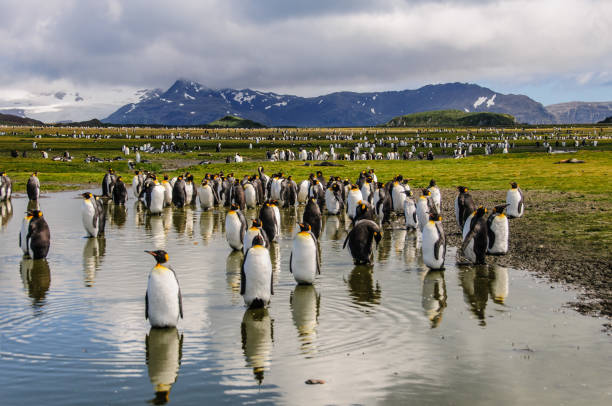 King Penguins on Salisbury plains Impression of the wild abundance of King Penguins at Salisbury Plains, South Georgia. Salisbury plains is home to one of the largest King Penguin Rookeries, or Colonies, in the World south georgia island stock pictures, royalty-free photos & images