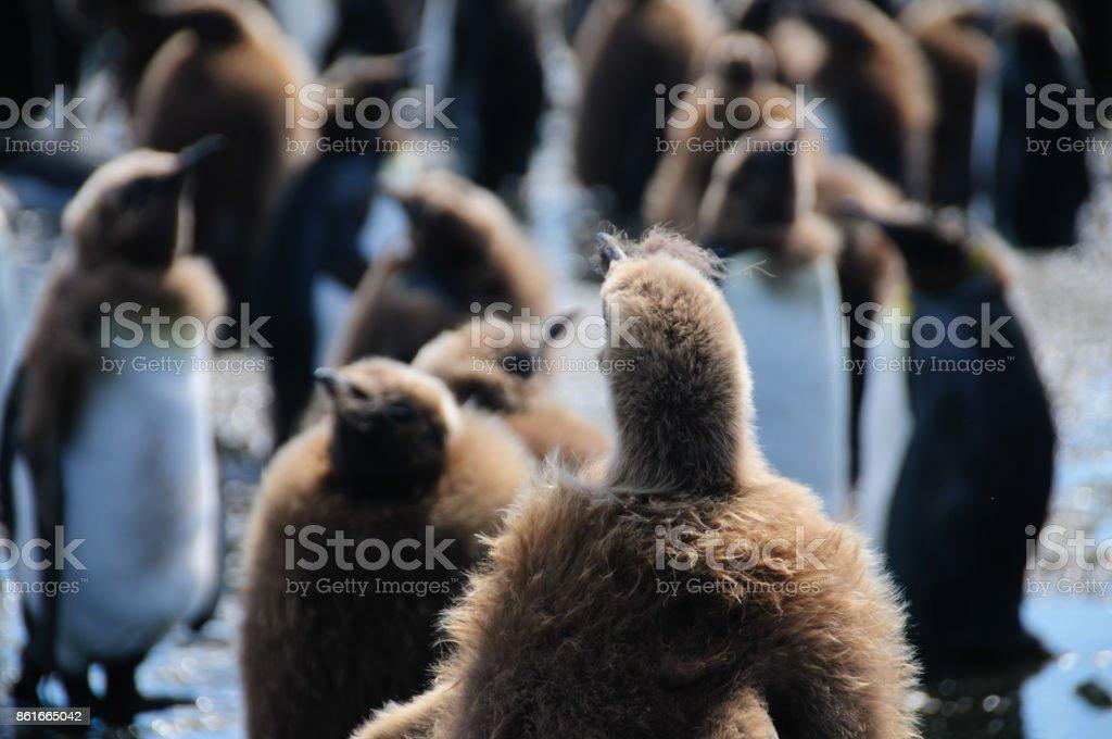 King Penguins on Salisbury plains stock photo