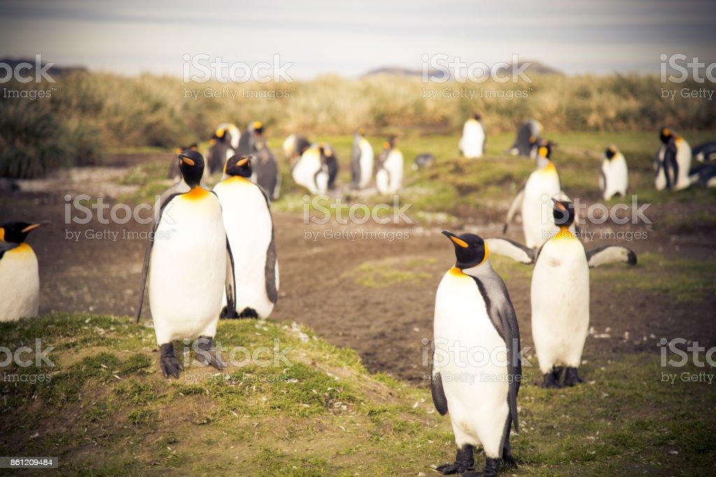 King Penguins on South Georgia stock photo