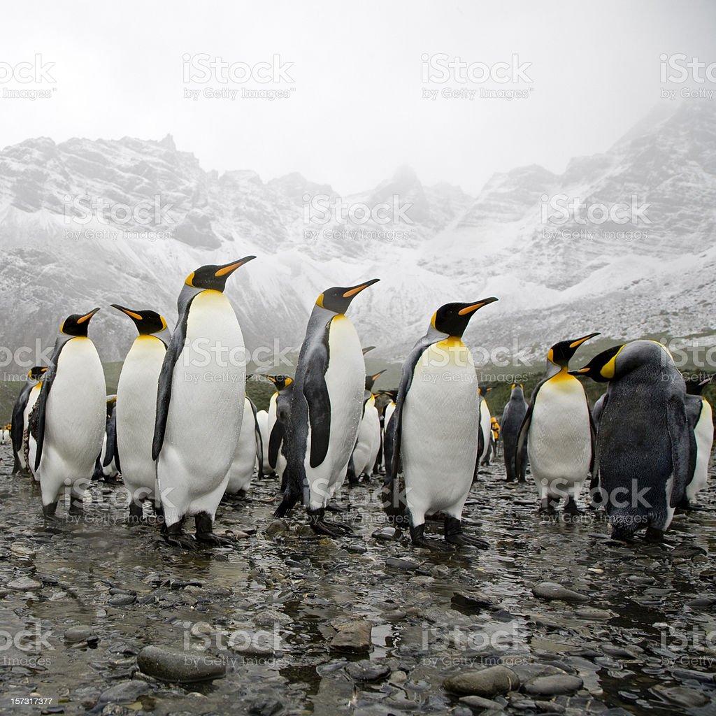 King Penguins royalty-free stock photo