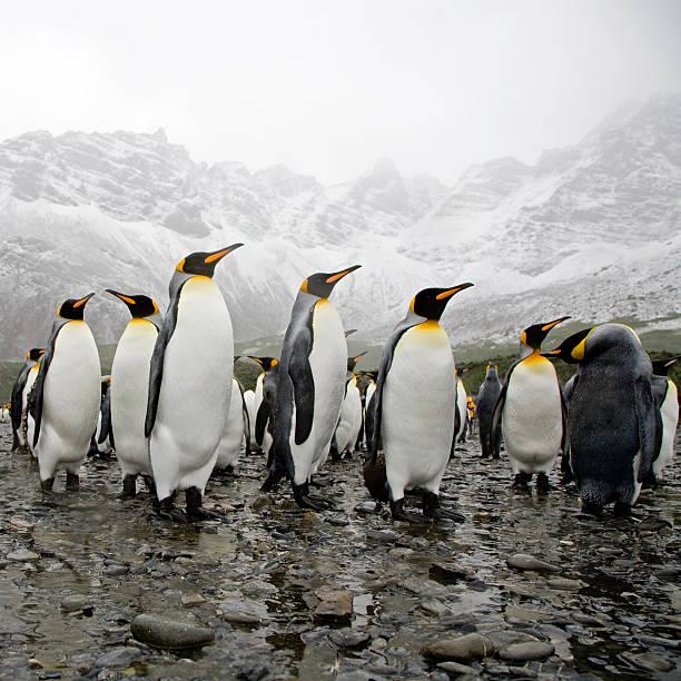 King Penguins stock photo