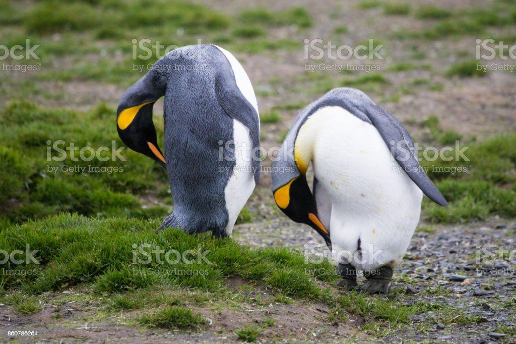 2 King Penguins preening at Salisbury Plain, South Georgia. stock photo