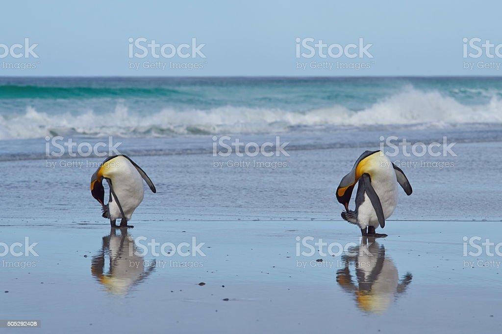 King Penguins Preening stock photo