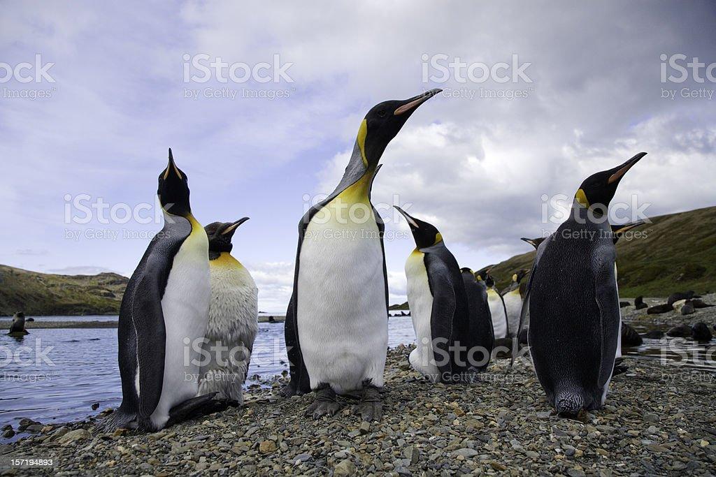 King Penguins South Georgia royalty-free stock photo