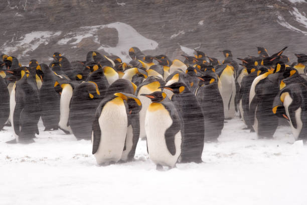 King Penguins standing in snowstorm at St. Andrews Bay on South Georgia Island Blowing snow and king penguins south georgia island stock pictures, royalty-free photos & images