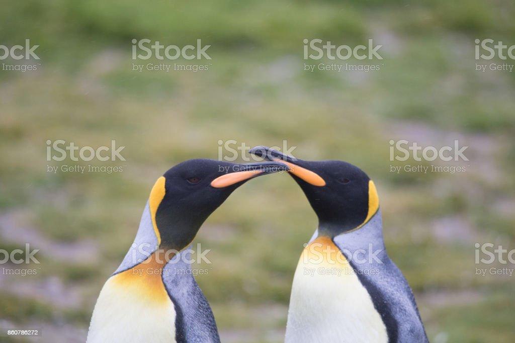 2 King Penguins touching bills at Salisbury Plain, South Georgia. stock photo