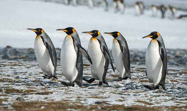 King Penguins walking in the snow in South Georgia stock photo