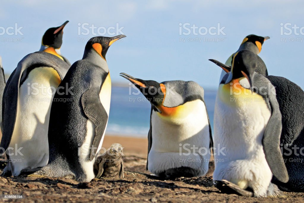 King penguins with chick, aptenodytes patagonicus, Saunders, Falkland Islands stock photo