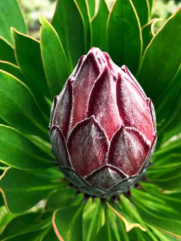 Que  suis   je ? ajonc   - 27 août  Bravo Martine  - Page 2 King-protea-flower-head-ready-to-bloom-garden-on-maui-hawaii-picture-id1147023805?k=6&m=1147023805&s=170667a&w=0&h=zN8rI5pKdvGIr4pb2UKeFRtH876UEF41CXzBKLKE0cY=