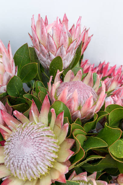 King protea or  protea cynaroides the national flower of South Africa