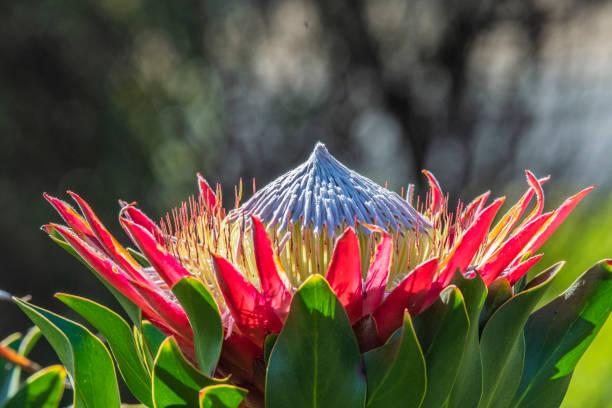 King Protea stock photo
