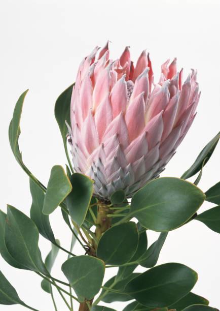 protea mit king-size-bett  - protea strauß stock-fotos und bilder