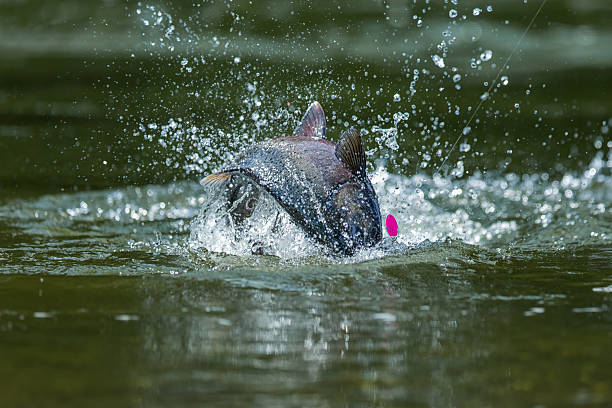 King Salmon fishing in Canada - foto stock