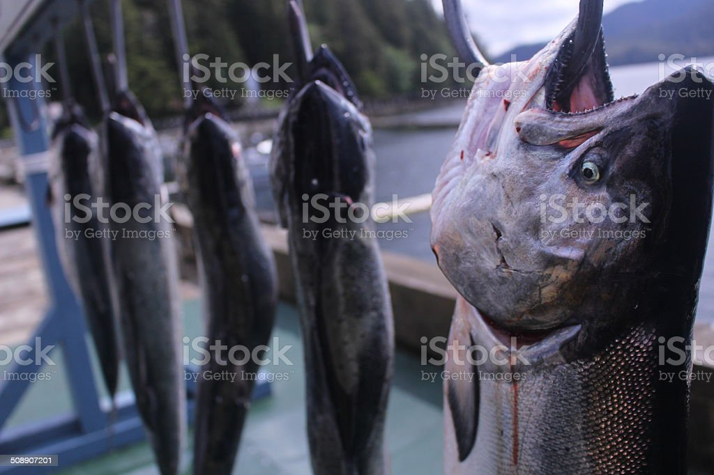 King Salmon on a hook stock photo