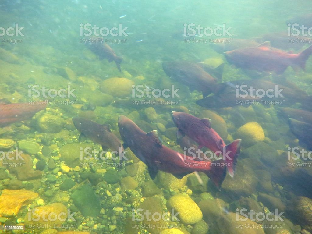 King Salmon stock photo