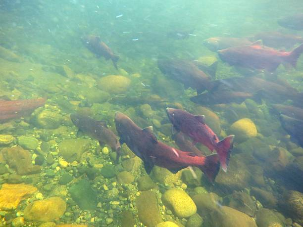 king salmon - chinook salmon stock photos and pictures