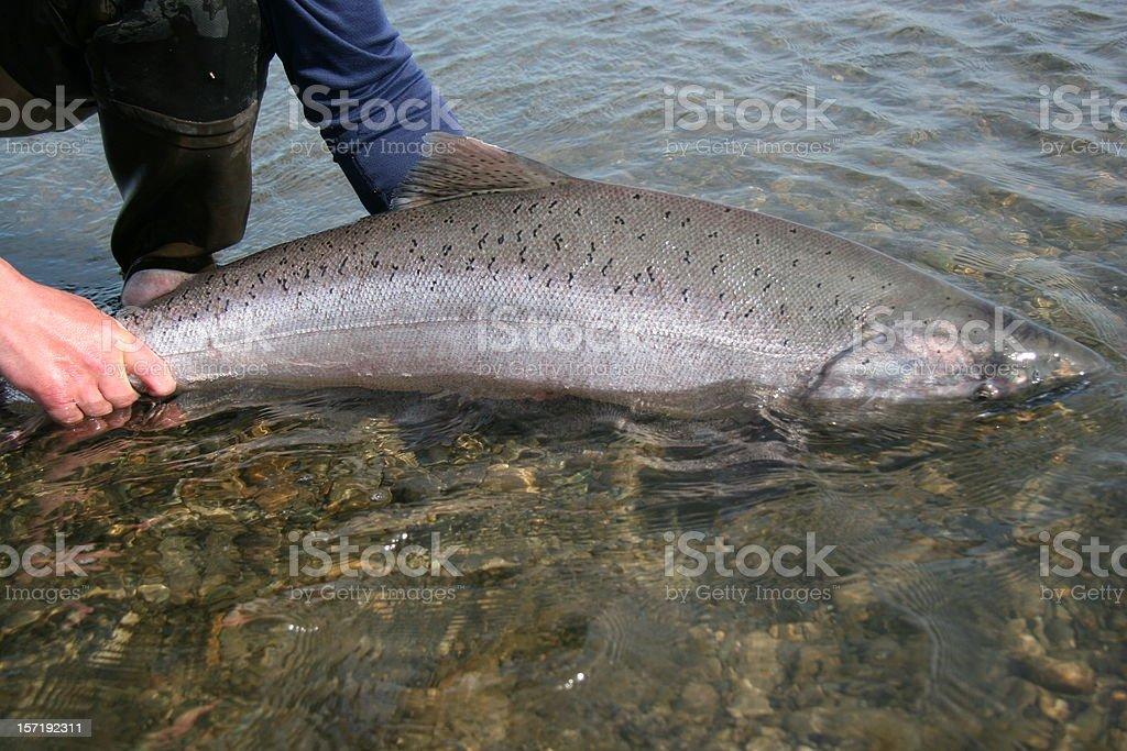 King Salmon Release stock photo