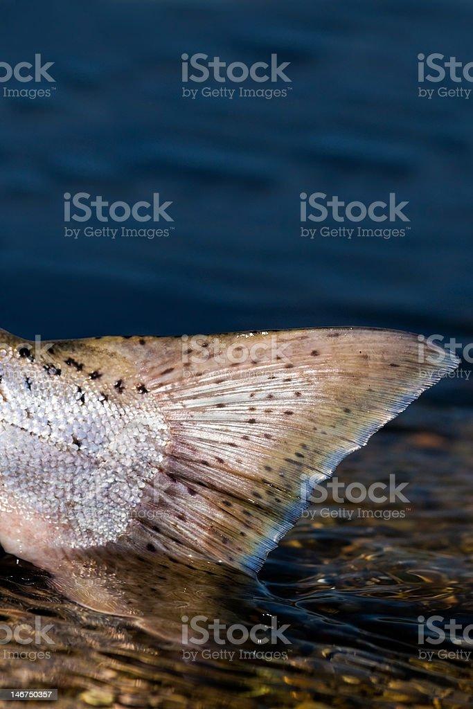 King salmon tail stock photo
