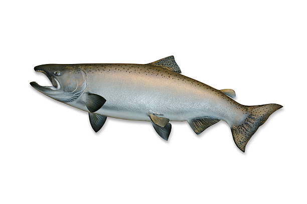king salmon with clipping path - chinook salmon stock photos and pictures