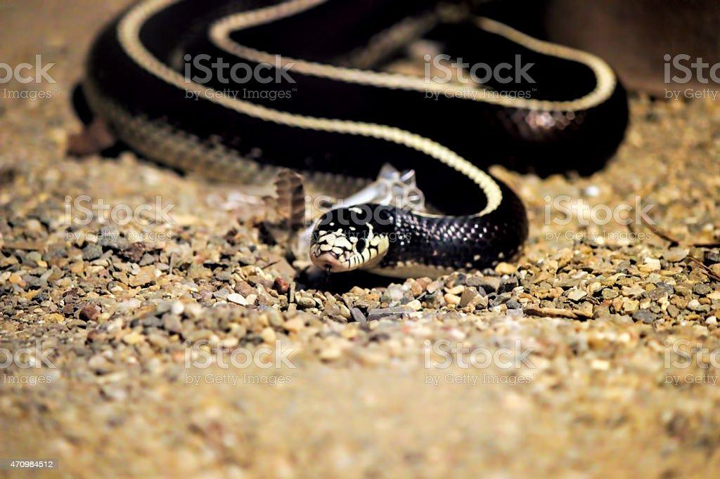 King Snake (Lampropeltis Getula) stock photo
