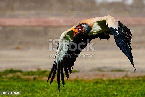 horizontal shot of king vulture landing, flying in nature.