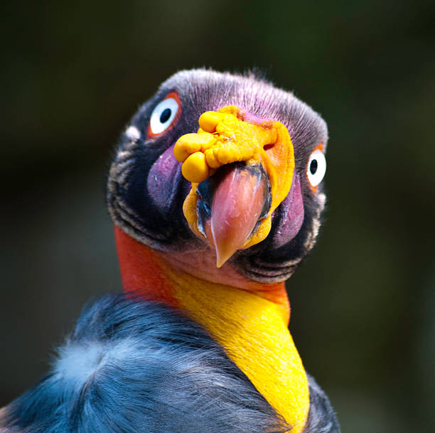 King Vulture stock photo