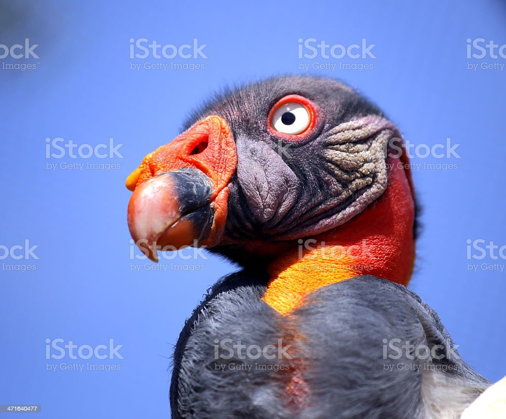 King Vulture royalty-free stock photo