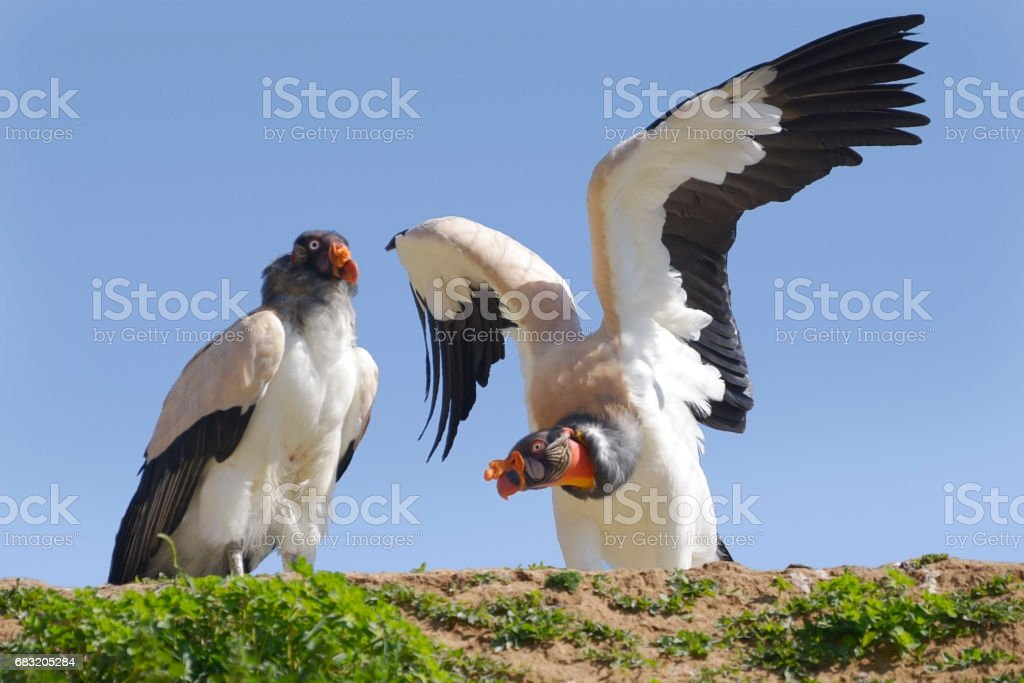 King vultures on cliff 免版稅 stock photo