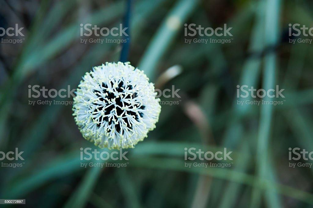 Kingea Flower stock photo