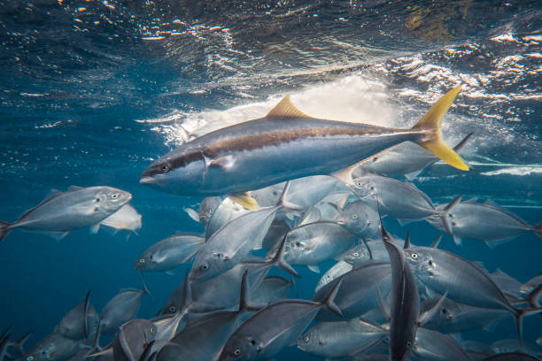 Kingfish among Trevally stock photo