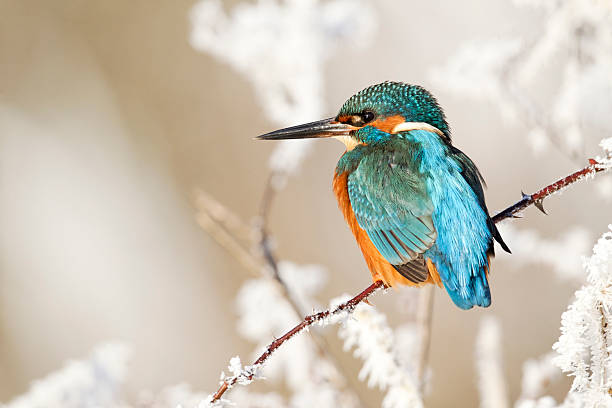 Kingfisher, Alcedo atthis Kingfisher, Alcedo atthis, Single bird on frosty perch, Midlands, December 2010 kingfisher stock pictures, royalty-free photos & images