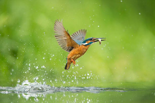 Kingfisher - Alcedo atthis Male kingfisher emerging from the water after a succesful dive kingfisher stock pictures, royalty-free photos & images