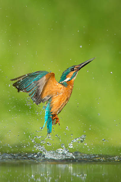 Kingfisher - Alcedo atthis Kingfisher emerging from an unsuccesful dive kingfisher stock pictures, royalty-free photos & images