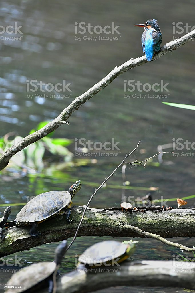 Kingfisher and the Tortoise royalty-free stock photo