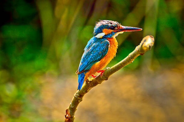 kingfisher bird - ijsvogels stockfoto's en -beelden