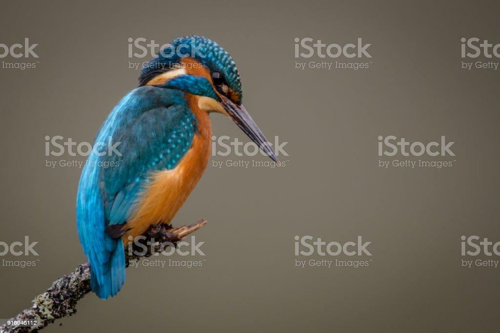Kingfisher Bird stock photo