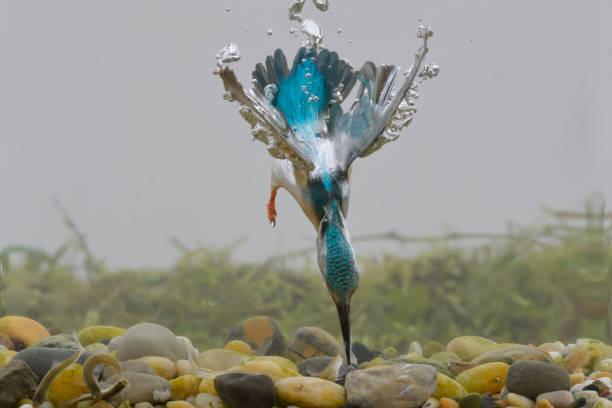martin-chasseur de pêche sous-marine - martin pêcheur photos et images de collection