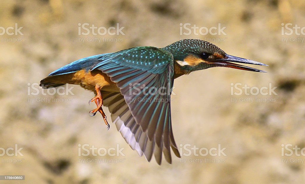 Kingfisher in flight royalty-free stock photo