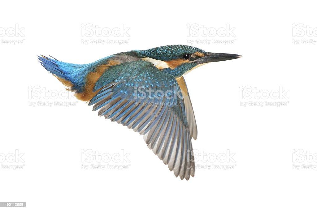 Kingfisher in flight stock photo