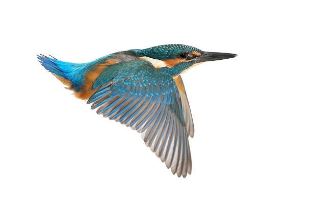 Kingfisher in flight stock photo