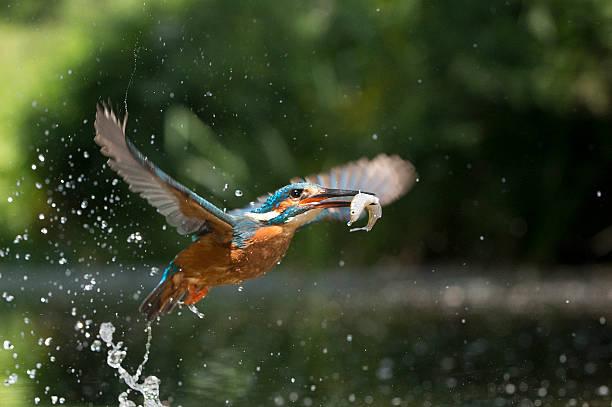 kingfisher en vol avec du poisson (alcsdo atthis - martin pêcheur photos et images de collection