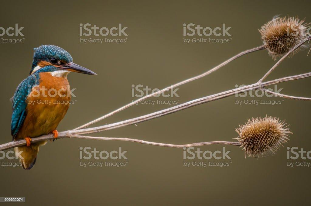 Kingfisher on Teasel stock photo