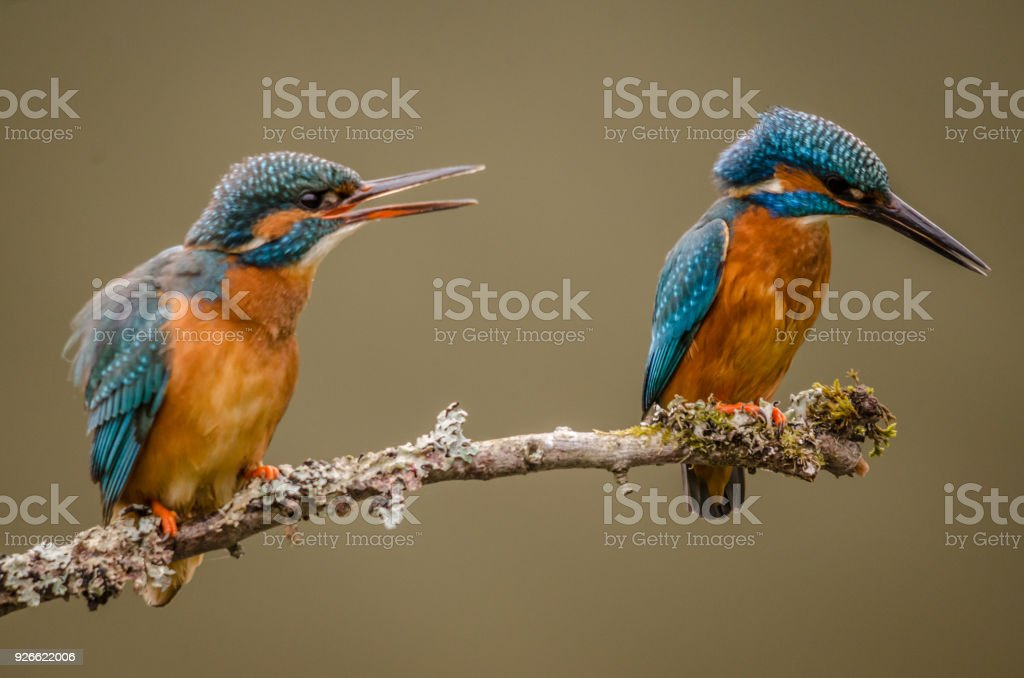 Kingfisher Pair perched stock photo