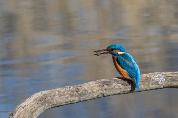 Kingfisher thront auf einem Ast und isst ein Insekt – Foto