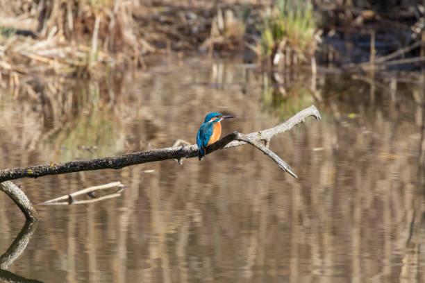 Kingfisher auf einem Ast – Foto
