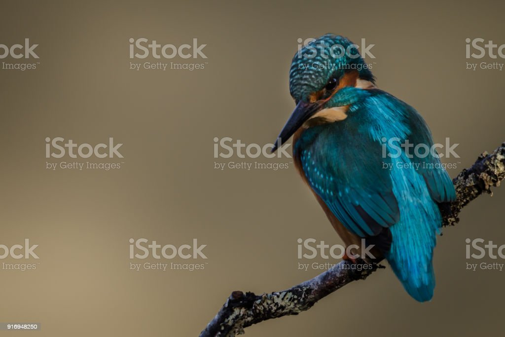 Kingfisher Perched stock photo