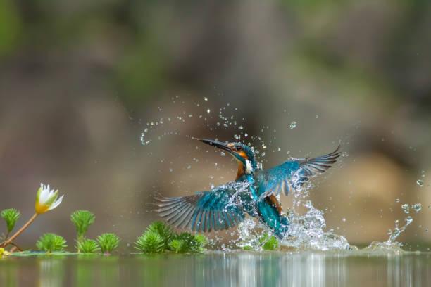 Kingfisher picture id1057383338?b=1&k=6&m=1057383338&s=612x612&w=0&h=2xfobzmdzu3w6hucdeifkut1kiicnfbnthpyqpmlju4=