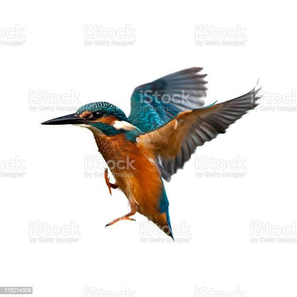 Kingfisher picture id175214076?b=1&k=6&m=175214076&s=612x612&h=i9pqkg3bmzgfqlz0g85mxylrgatefh2oqr3llbsli y=